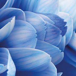 Close-up of Blue Flower Petals, Nature, Blue, Macro, Petal, Abstract