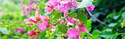 flower, leaf, Bougainvillea glabra, green, plant, nature