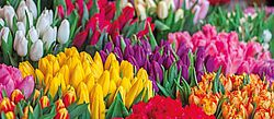 Tulpen, Holland-Blumen