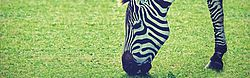 animals, pasture, stripes, Zebra grazing, eating, white stripes, black stripes