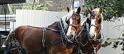 Looking Both Ways, Carriage, Horse, Horse Cart, Pulling, Horsedrawn