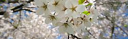 white, cherry blossoms, trees, flowers, branches, nature